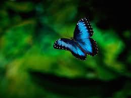 vlinder transformatie